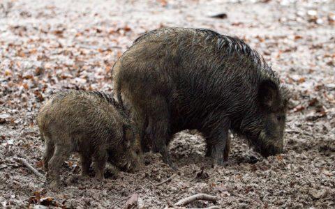 Wildschäden: alle vorkommenden Hirsche zum Abschuss freigeben ?